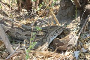 Python at Kazuma